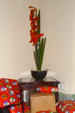 Oh Christmas Orchid