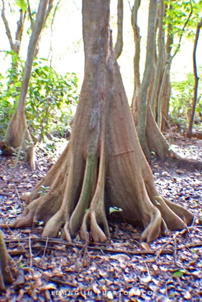 Pterocarpus Tree