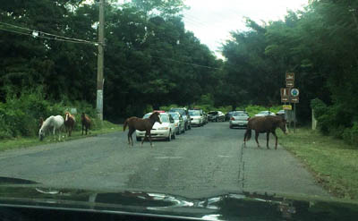 Horses in the Road - Driving in PR