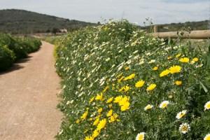 Spring wildflowers on Via Verde, Mallorca