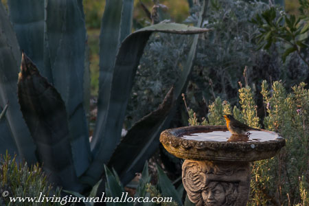 A late afternoon bath for this robin.