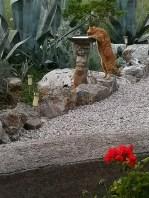 Marmalade cat drinking from birdbath