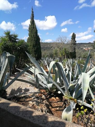 Agaves in our Mallorcan garden