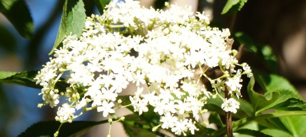 elderflower-web1