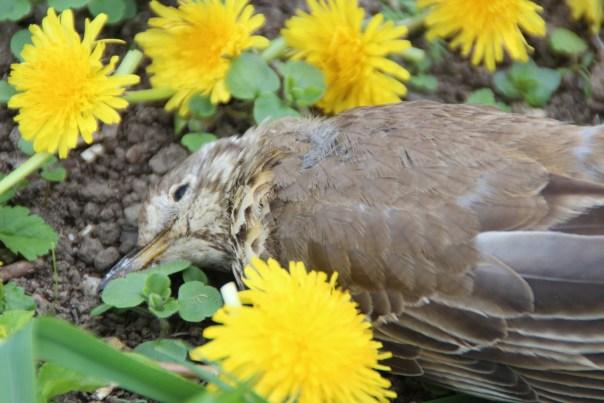 A fallen thrush