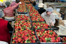Strawberries in Australia