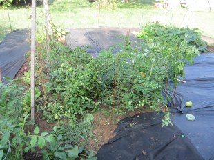 2011 My tomatoes were completely out of control by this point and needed to be corralled with garden fencing. The cherry tomatoes produced like crazy but they ended up splitting before I could pick them and they all got fruit flies. Ew.