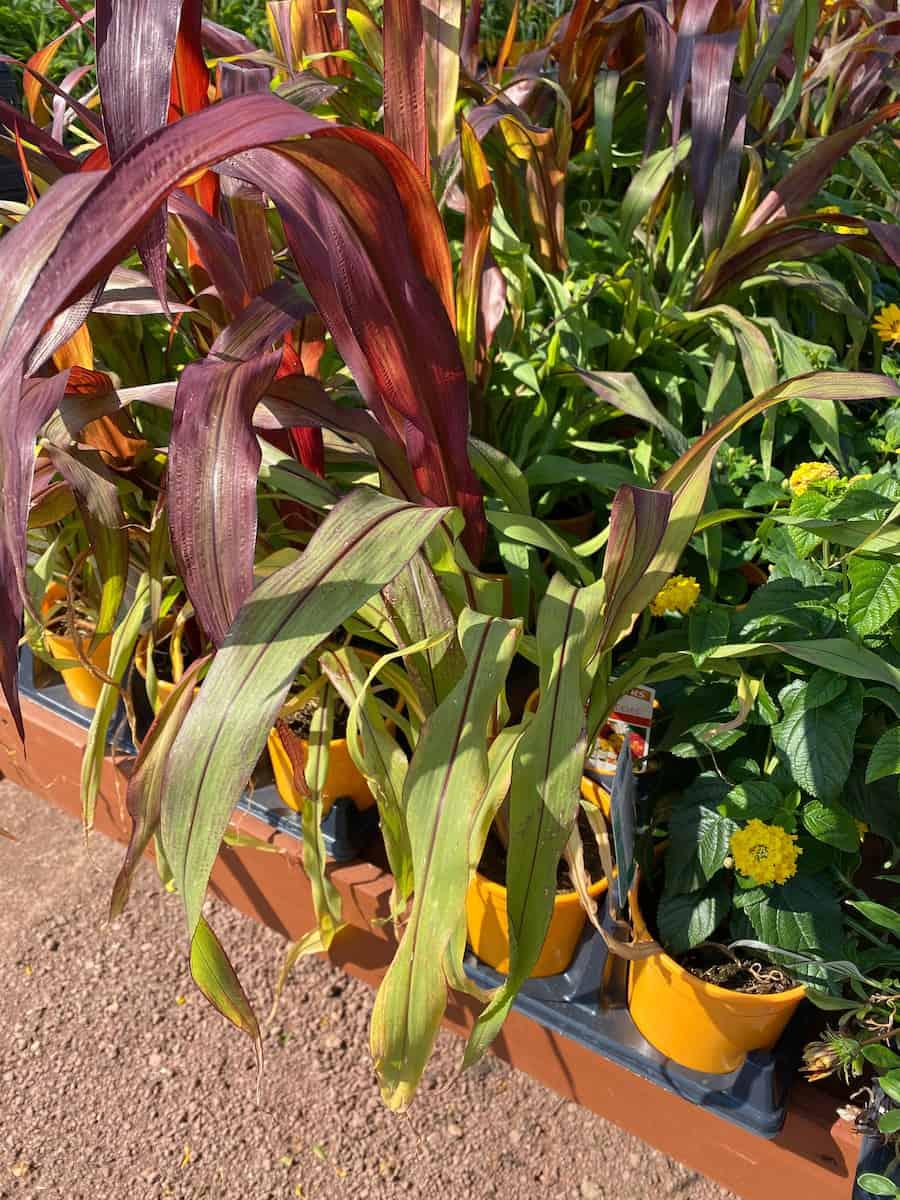 Ornamental Corn Stalks at my local nursery
