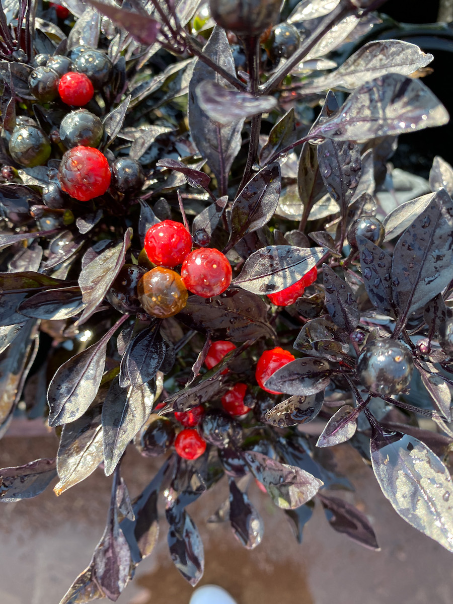 Very cool red berry plant with dark leaves that is perfect to plant in your pots for fall