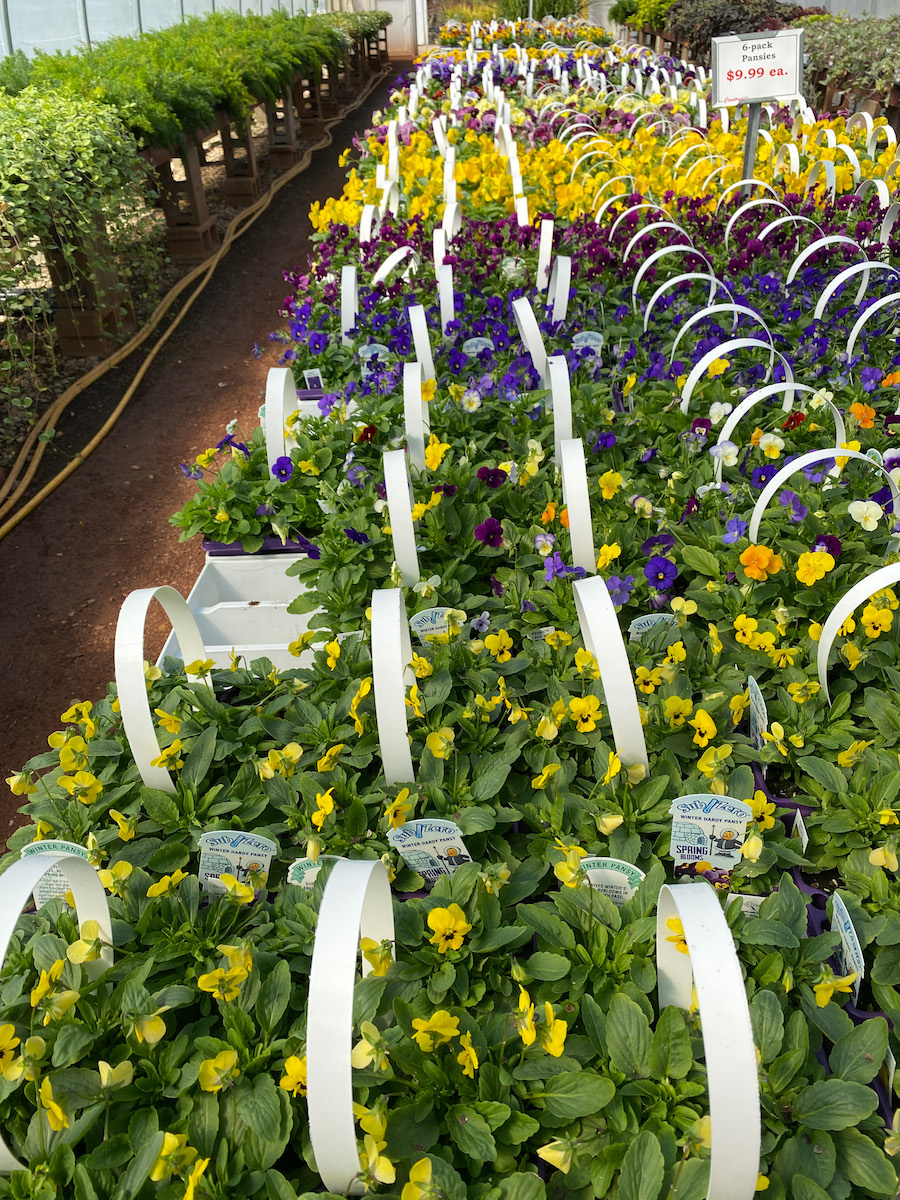 rows of pansies for fall