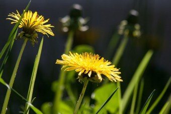 dandelion water retention remedy