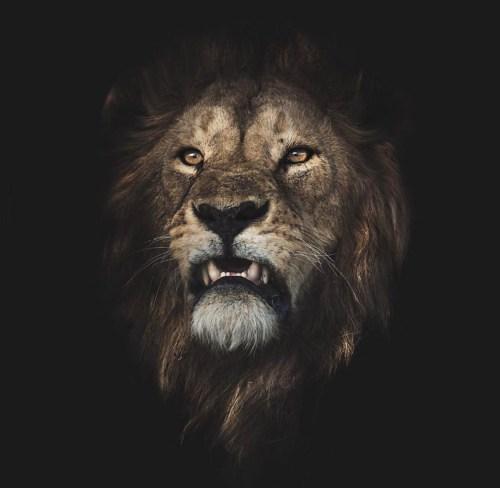 lion, confident,