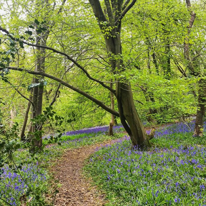 Living Life Our Way, bluebells, Bricket Wood Common, photography, spring, seasons, nature, landscape, environment, photographer