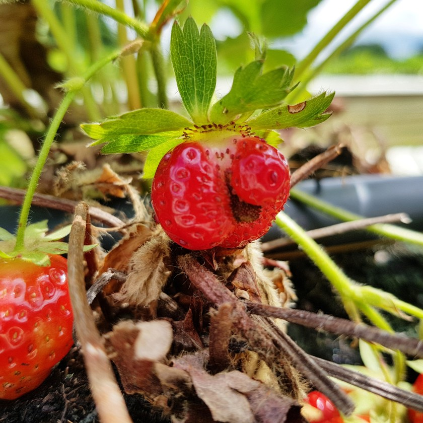 strawberry, smiley face fruit, fruit farm, pick your own, PYO, places to visit, Herts