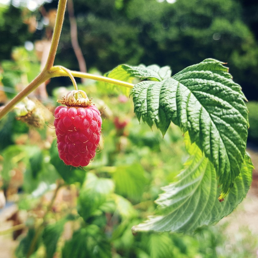 fruit, raspberry, photography, art, photo gallery, Samsung Galaxy S8+, #unboxyourphone, fruit farm, pick your own, PYO, places to visit, Herts