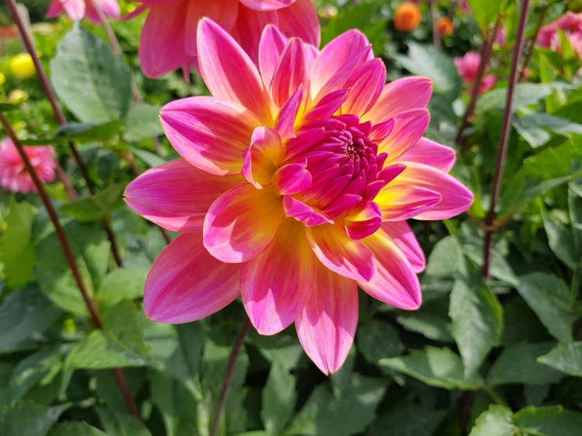 Celebration Gardens, Dahlias, flowers, outdoors, get outside, nature, places to visit, Aylett Nurseries, Hertfordshire, Living Life Our Way