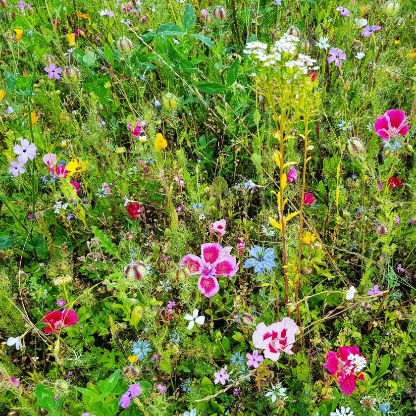Celebration Gardens, wild flowers, flowers, outdoors, get outside, nature, places to visit, Aylett Nurseries, Hertfordshire, Living Life Our Way