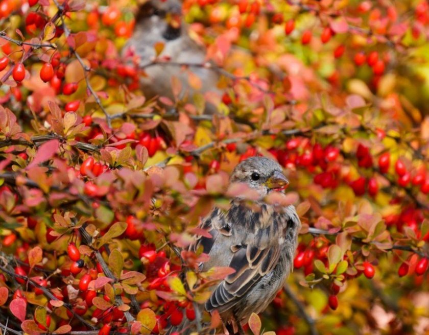 Two birds sat in a tree full of red berries.