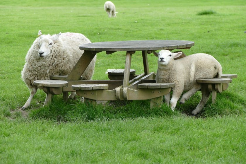 Sheep in a field around a picnic bench