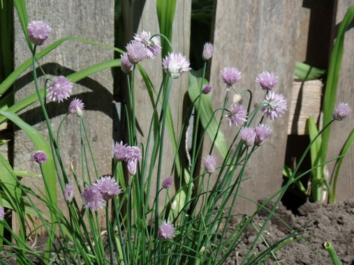 The chives are in full bloom.