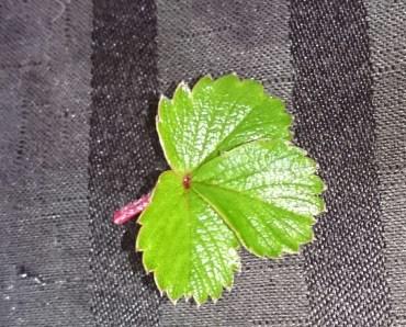 Barren Strawberry