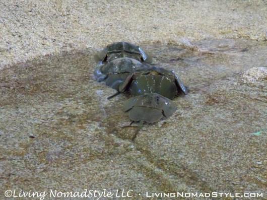 Horsehoe Crabs