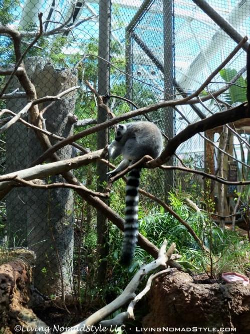 Ring Tailed Lemur 1