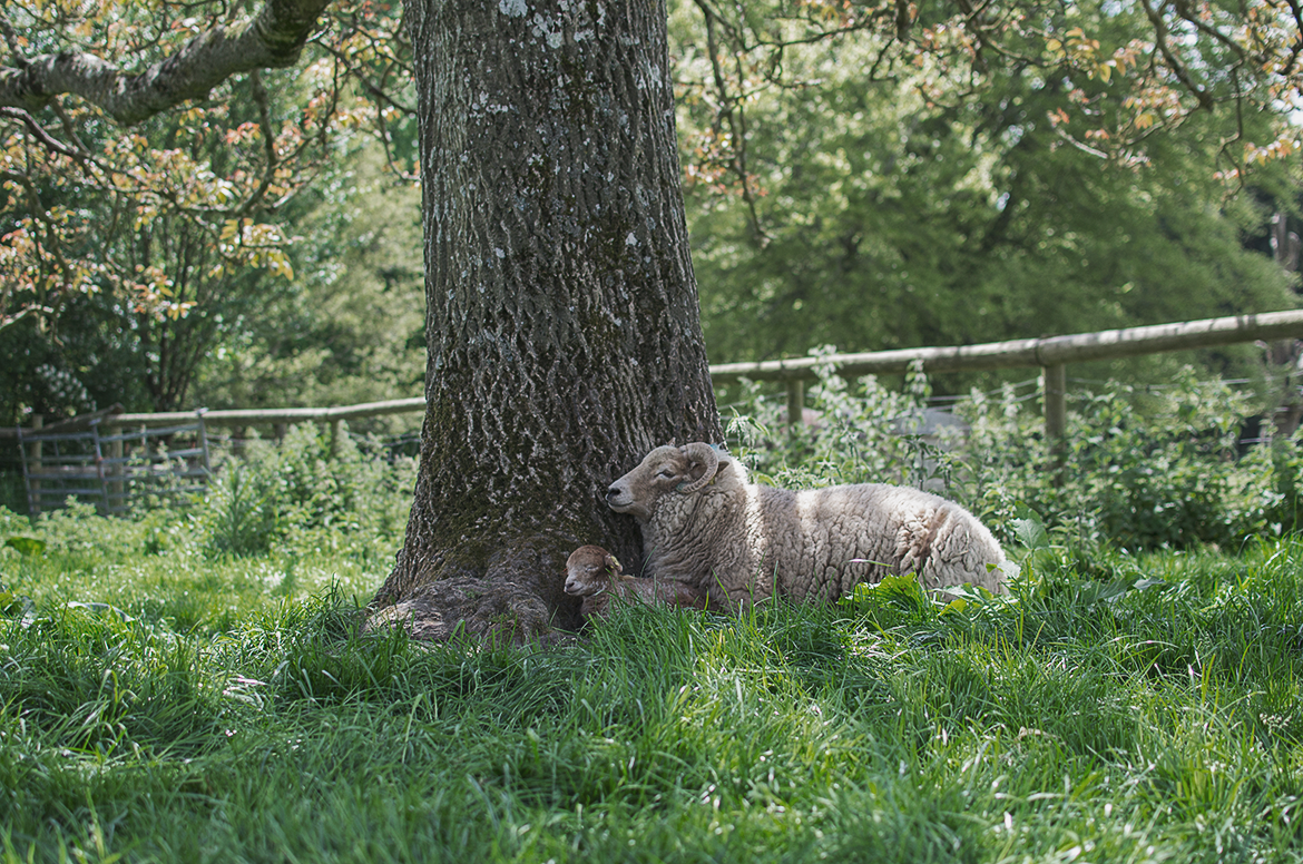 sheep and her newborn lamb lying next to a tree