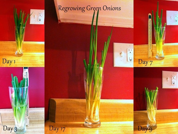 Regrowing Green Onions