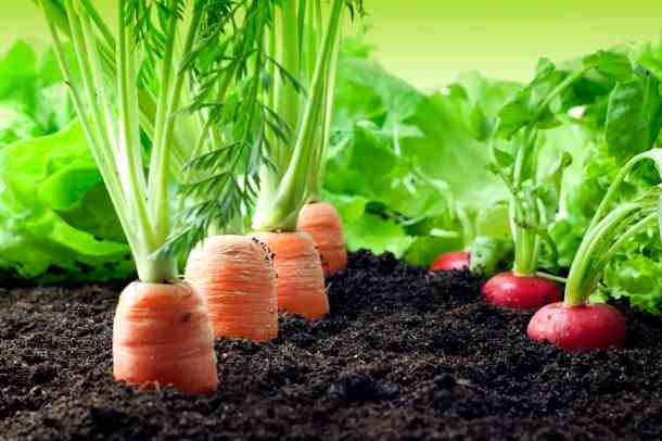 carrots and radishes in a vegetable garden