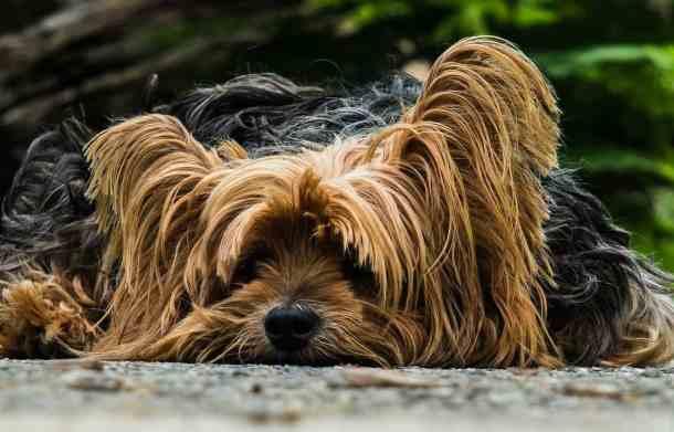 dog-cute-yorkie