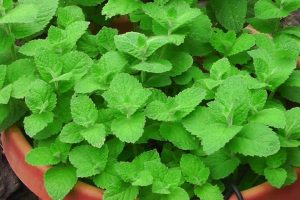 The Challenges of Growing Mint