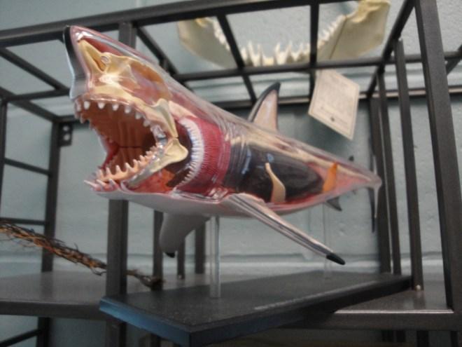 The amazing life-saving shark!