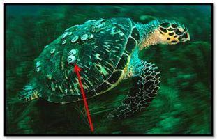 sea turtle barnacles