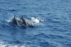 spinner dolphin snorkel