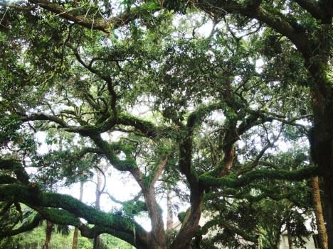 HHI live oaks