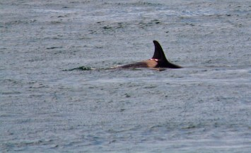 orca at Lime Kiln