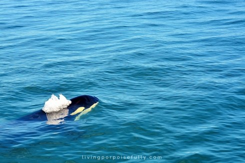 orca breathing 1