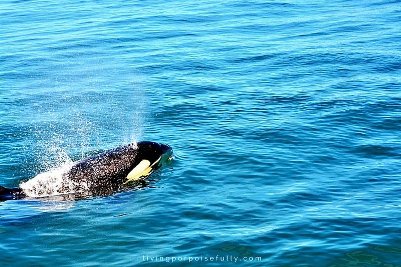 orca breathing 3