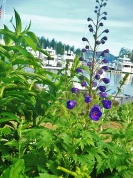 roche harbor flowers 2