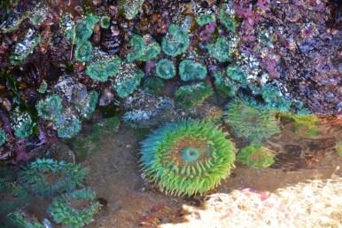 giant-green-sea-anemone