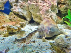 gulf-shrimp