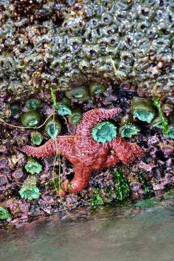 ochre-sea-star