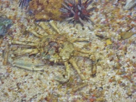 spider-crab-800x600