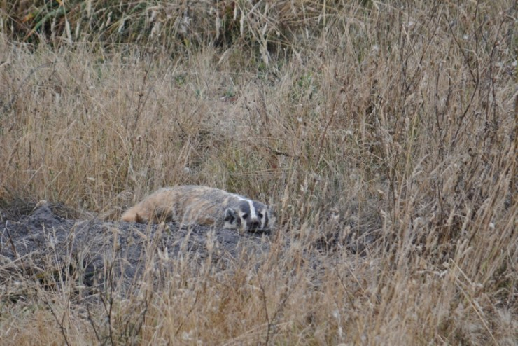 badger - point reyes