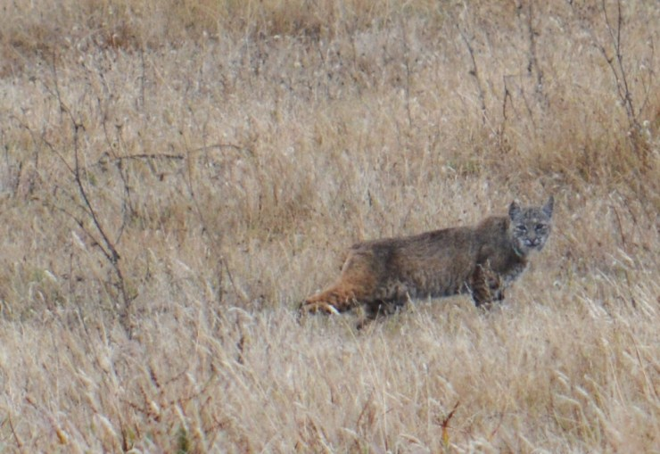 bobcat - point reyes