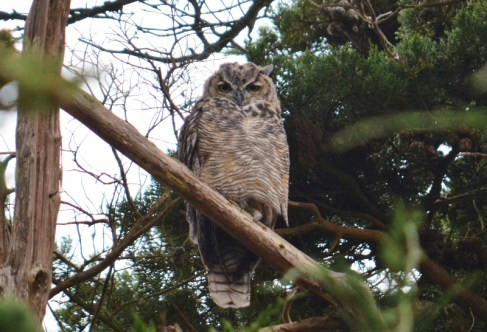 great horned owl - point reyes (3)