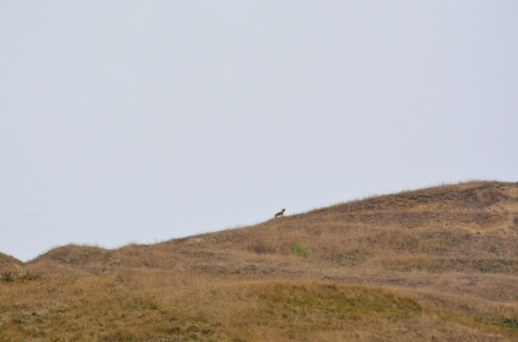 mama coyote - point reyes