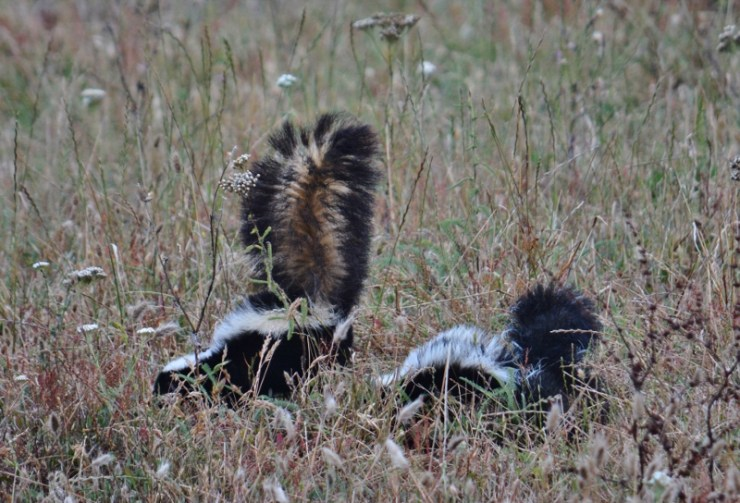 skunk pair - point reyes