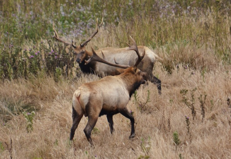 tule elk - point reyes 3